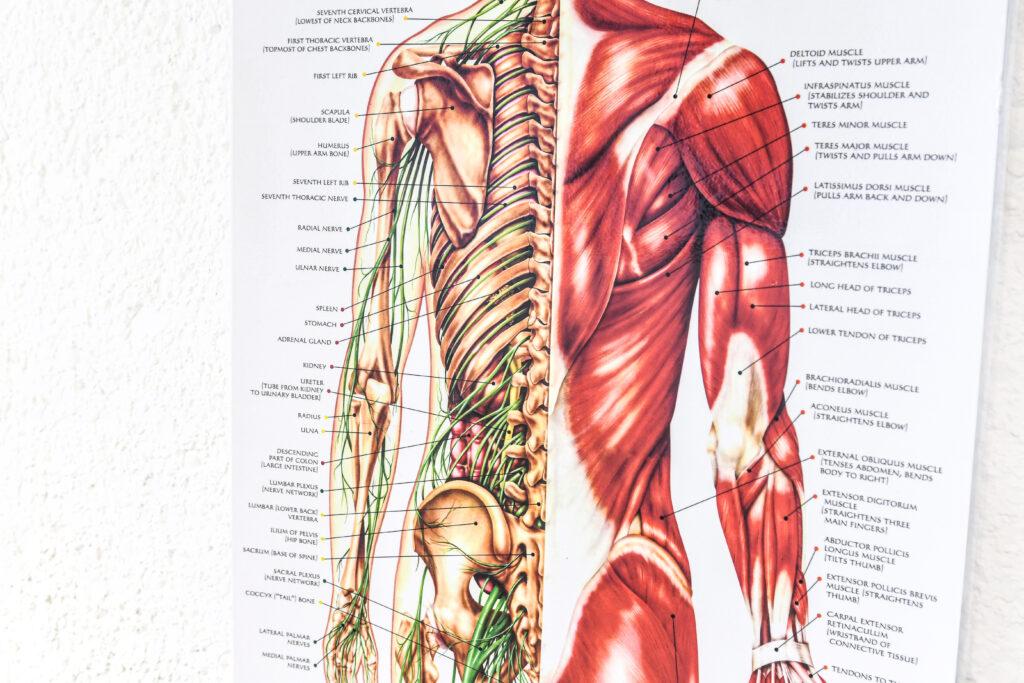 spieren en zenuwen poster